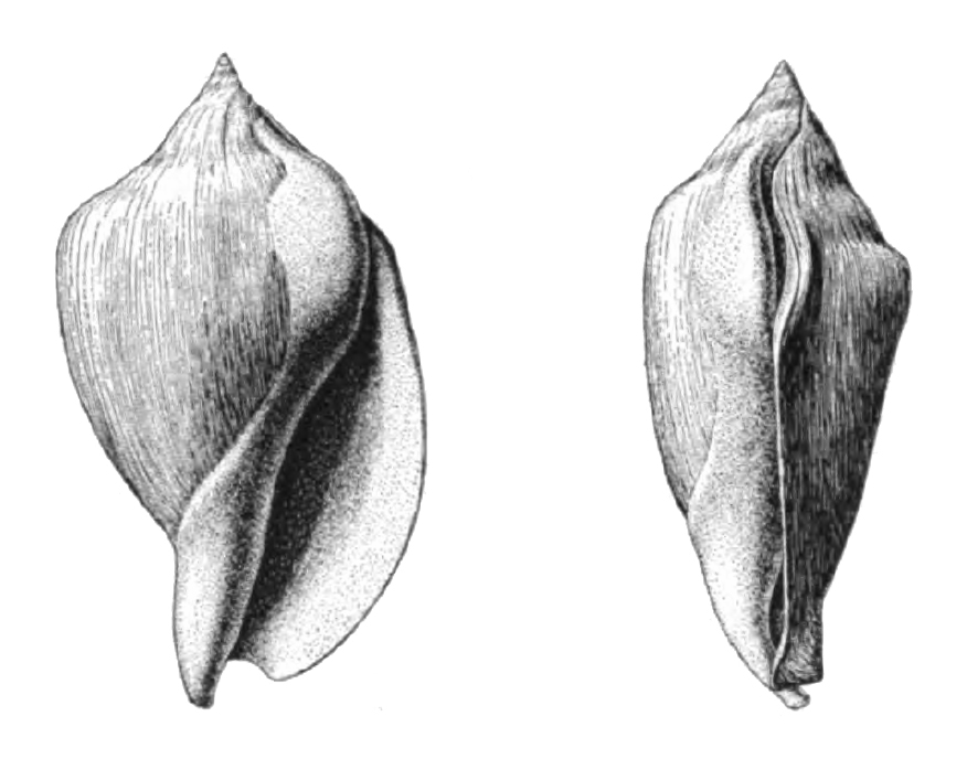 Specimen of adolescent <i>Orthaulax gabbi</i> figured by Dall (1890, pl. 12, fig. 5a, 5b); 68.0 mm in length.