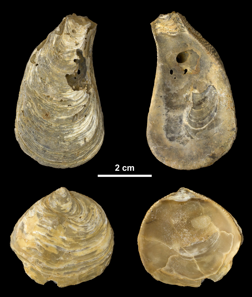 Right valves of <i>Ostrea carolinensis</i> from the Middle Miocene Choptank Fm. of Calvert County, Maryland (PRI 69991).