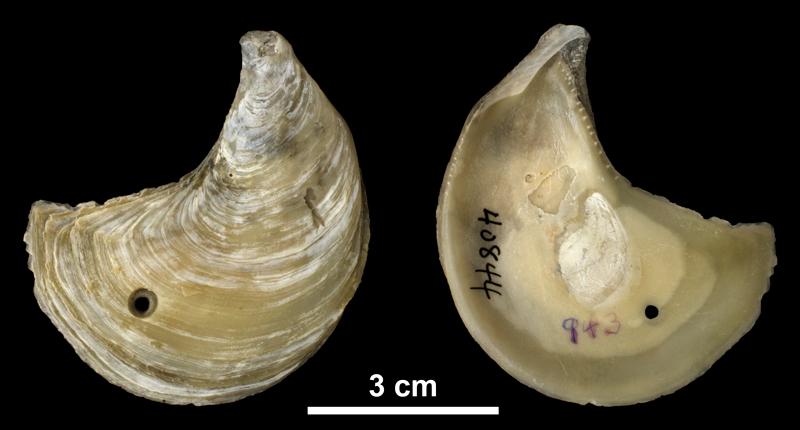 <i>Ostrea coxi</i> right valve from the Pliocene (formation unknown) of Sarasota County, Florida (PRI 40844).