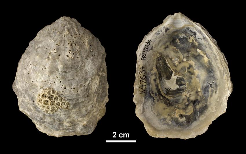 Left valve of <i> Ostrea subdigitalina </i> from the Plio-Pleistocene Caloosahatchee Fm. of Southern Florida (PRI 42230).