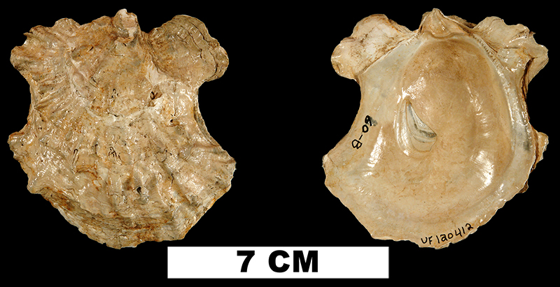 <i>Ostrea compressirostra</i> from the Late Pliocene Jackson Bluff Fm. of Leon County, Florida (UF 120412).