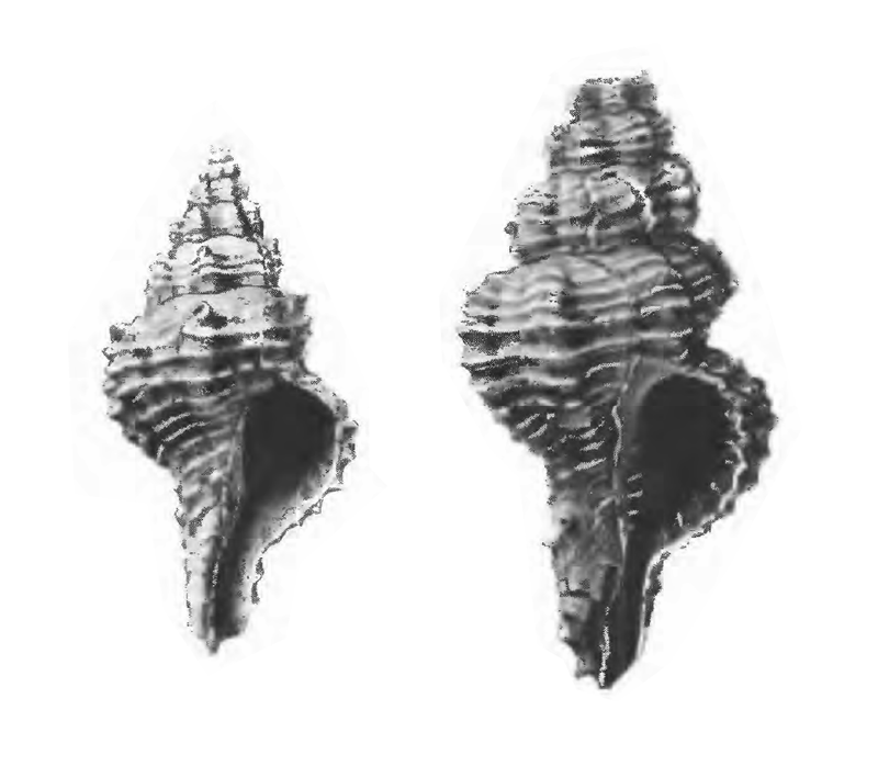 Specimen of <i>Calotrophon fusinoides</i> figured by Gardner (1947, pl. 52, fig. 39 and 42); 14 mm and 36.7 mm in length, respectively.