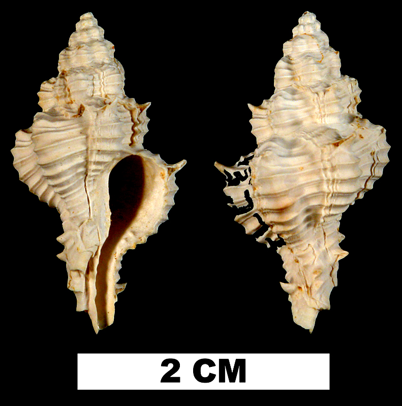 <i>Calotrophon fusinoides</i> from the Early Miocene Chipola Formation of Calhoun County, Florida (UF 43273).