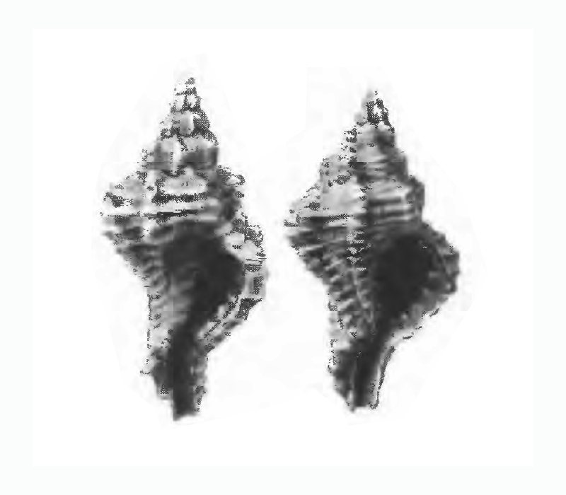 Specimen of <i>Panamurex laccopoia</i> figured by Gardner (1947, pl. 52, fig. 40 and 41); 9.8 mm and 18 mm in length, respectively.