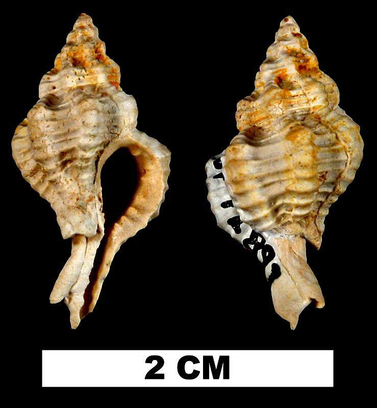 <i>Calotrophon laccopoia</i> from the Early Miocene Chipola Fm. of Calhoun County, Florida (UF 72897).