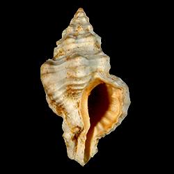 Calotrophon mauryae