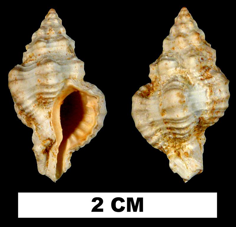 <i>Calotrophon mauryae</i> from the Early Miocene Chipola Fm. of Calhoun County, Florida (UF 132385).