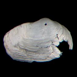 Panopea floridana