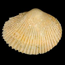 Papyridea bulbosa