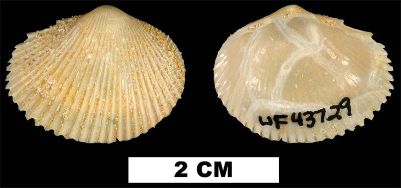 <i>Papyridea bulbosa</i> from the Early Miocene Chipola Fm. of Calhoun County, Florida (UF 43729).