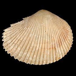 Papyridea miocica