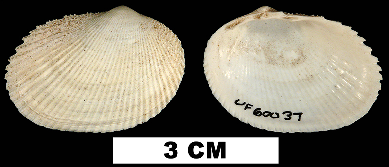 <i>Papyridea semisulcata</i> from the Early Pleistocene Caloosahatchee Fm. of Hendry County, Florida (UF 60037).