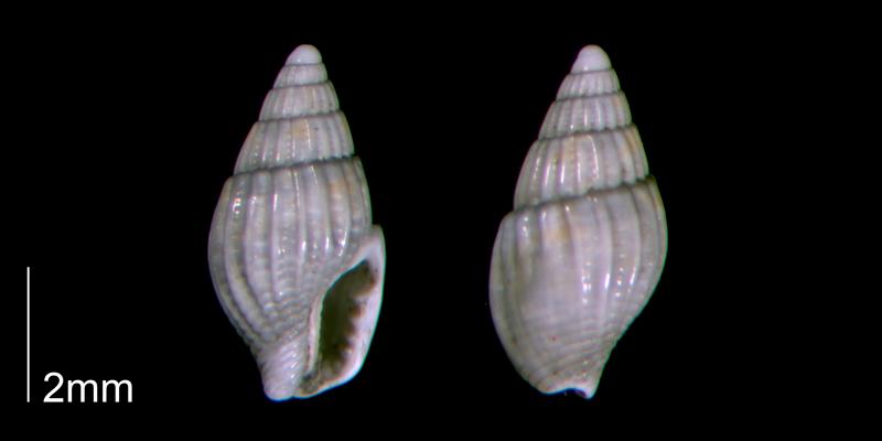 <i>Parvanachis obesa</i> (PRI 70440-2).