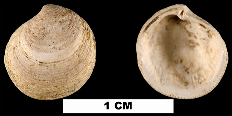 <i>Parvilucina crenella</i> from the Late Pliocene Raysor Fm. of Darlington County, South Carolina (UF 192500).