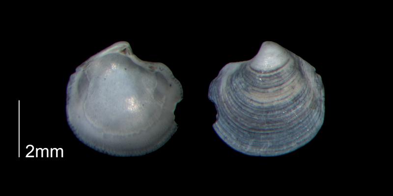 <i>Parvilucina crenella</i> from the Early Pleistocene Waccamaw Fm. of Brunswick County, North Carolina (PRI 70448-2).