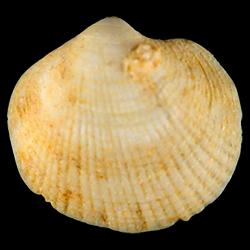 Parvilucina sphaeriolus