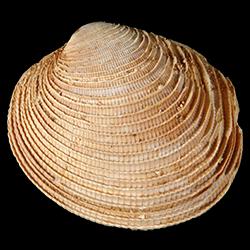 Periglypta caesarina