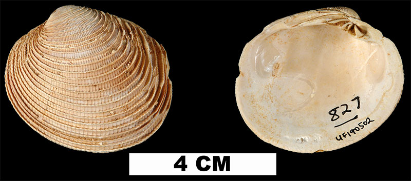 <i>Periglypta caesarina</i> from the Early Miocene Chipola Fm. of Calhoun County, Florida (UF 190502).
