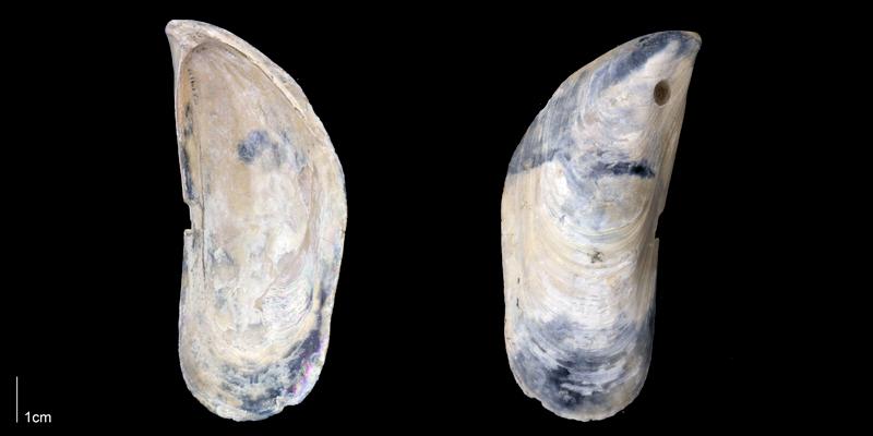 <i>Perna conradiana</i> from the Late Pliocene Tamiami Fm. (Pinecrest Beds) of Sarasota County, Florida (PRI 70164).