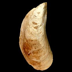 Perna conradiana