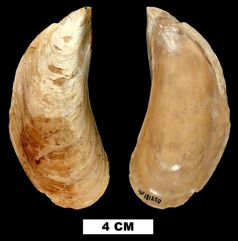 <i>Perna conradiana</i> from the Late Pliocene Tamiami Fm. (Pinecrest Beds) of Sarasota County, Florida (UF 181250).