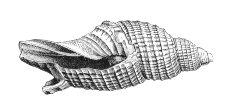 Specimen of <i>Perplicaria perplexa</i> figured by Dall (1890, pl. 3, fig. 1); 13.0 mm in length.