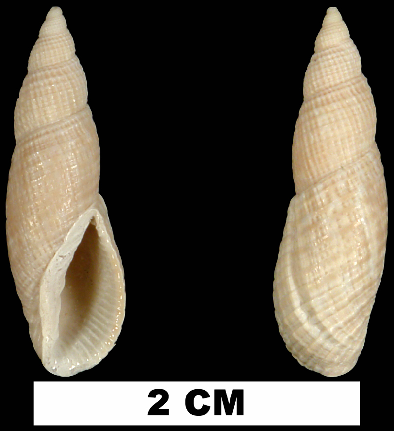 <i>Perplicaria perplexa</i> from either the Early Pleistocene Caloosahatchee Fm. or Middle Pleistocene Bermont Fm. of Palm Beach County, Florida (UF 252316).