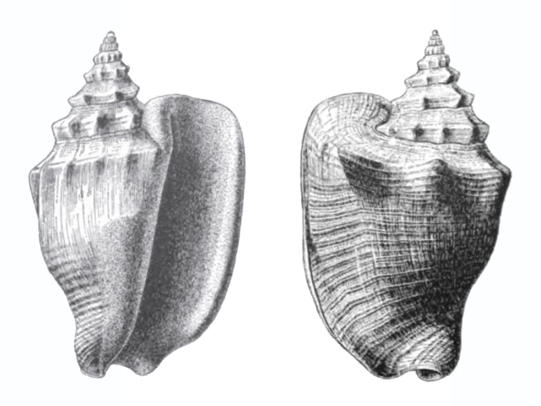 Specimen of <i>Persististrombus aldrichi</i> figured by Dall (1890, pl. 12, fig. 1 and 4); 62.0 mm in length.
