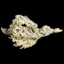 Petaloconchus floridanus