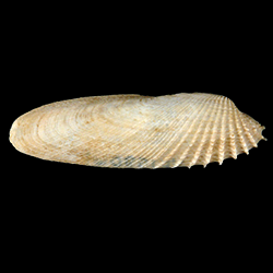 Petricolaria