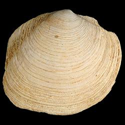 Phacoides pectinatus