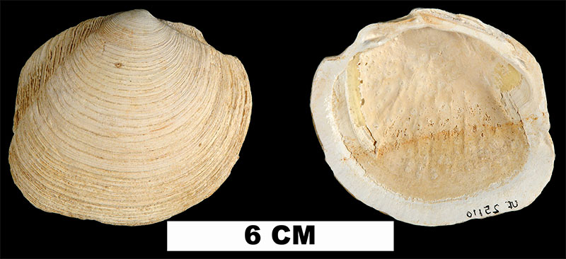 <i>Phacoides pectinatus</i> from the Early Pleistocene Caloosahatchee Fm. of Hendry County, Florida (UF 25110).