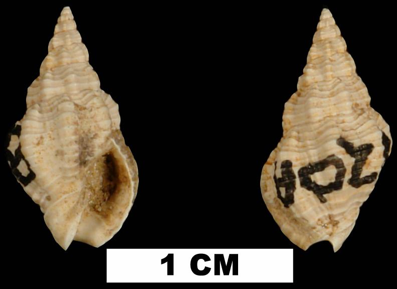 <i>Phos pedanus</i> from the Early Miocene Chipola Fm. of Calhoun County, Florida (UF 121314).