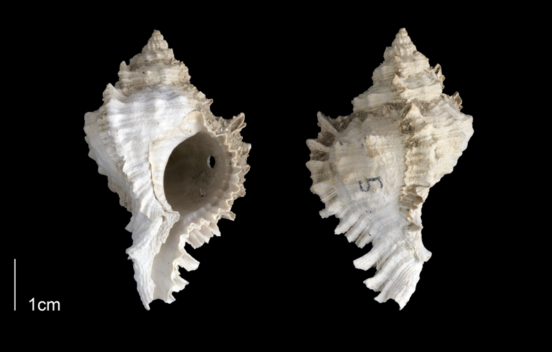 <i>Phyllonotus globosus</i> from the Late Pliocene Tamiami Fm. (Pinecrest Beds) of Sarasota County, Florida (PRI 70138).