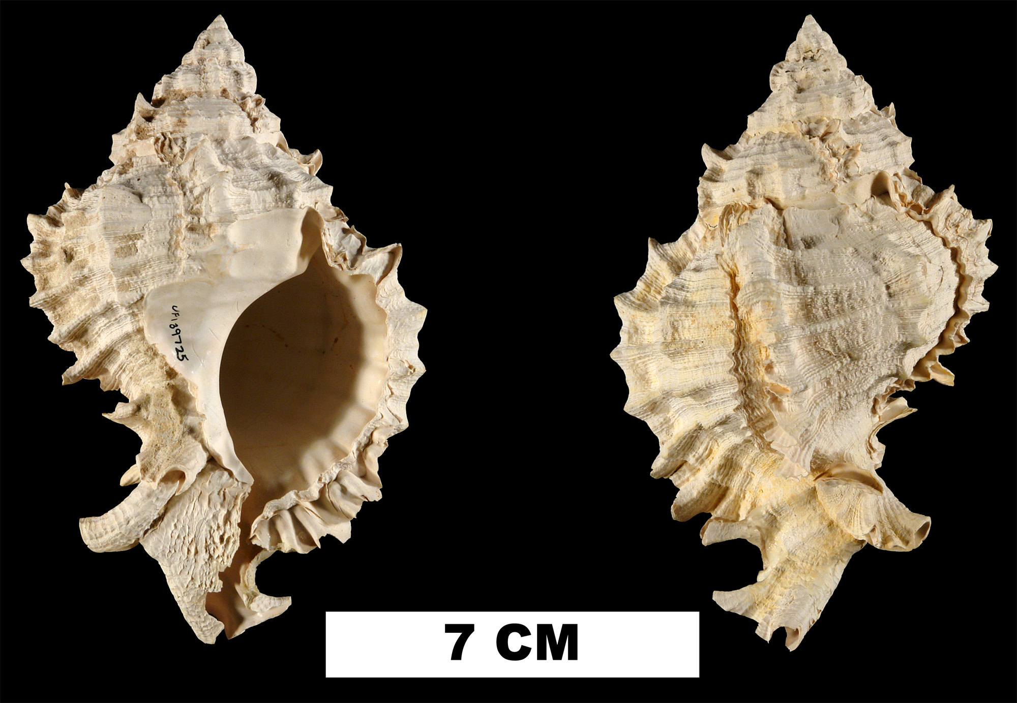 <i>Phyllonotus pomum</i> from the Middle Pleistocene Bermont Fm. of Palm Beach County, Florida (UF 122922).