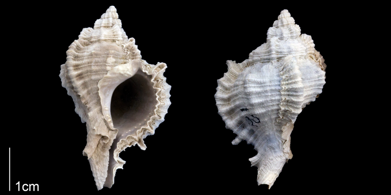 <i>Phyllonotus leonensis</i> from the Late Pliocene Tamiami Fm. (Pinecrest Beds) of Sarasota County, Florida (PRI 70301).