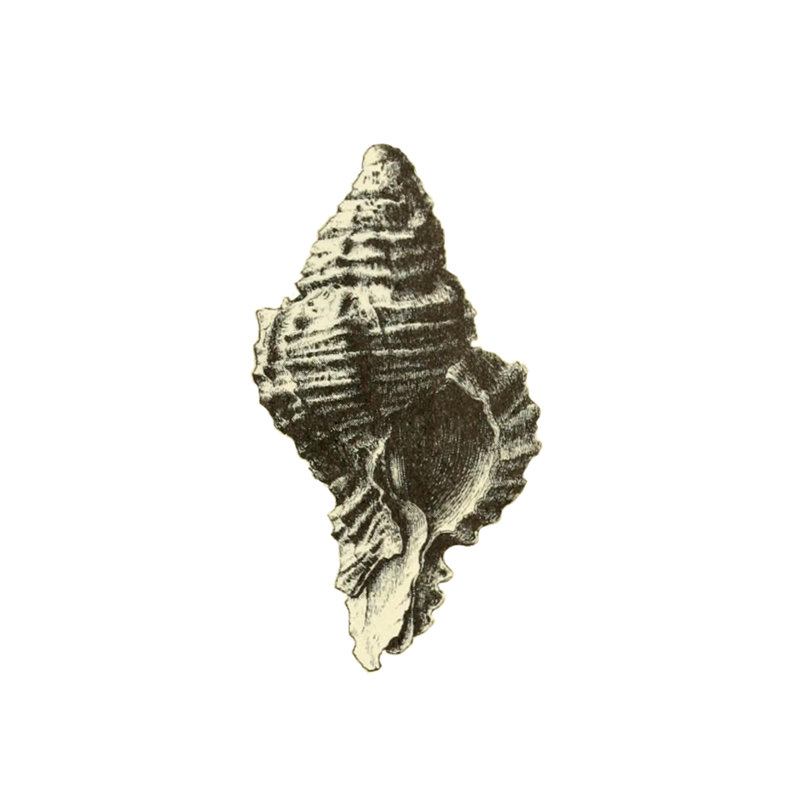 Specimen of <i>Phyllonotus pomum</i> figured by Dall (1889, pl. 16, fig. 2); 15.0 mm in length.