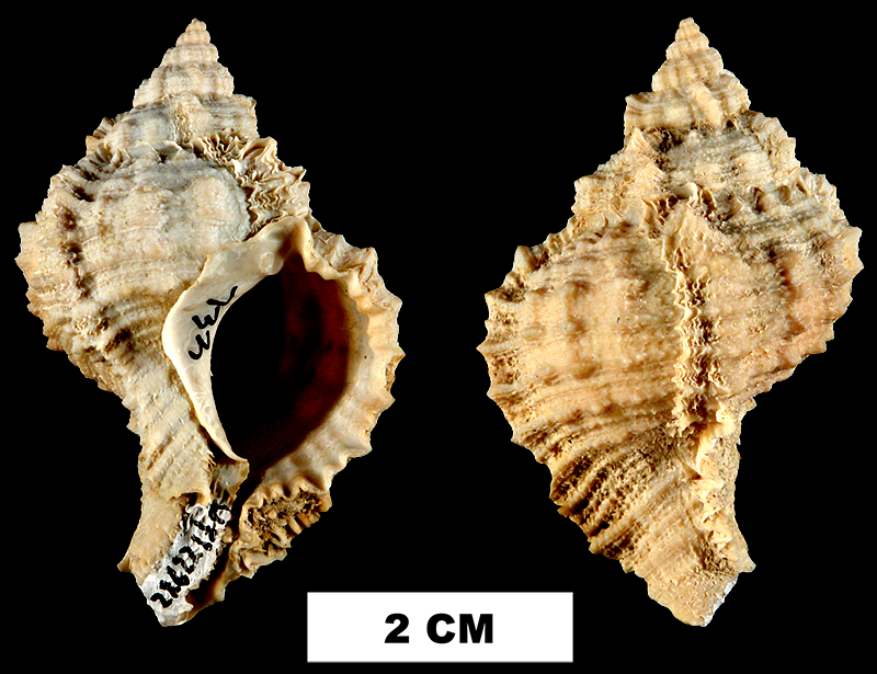 <i>Phyllonotus globosus</i> from the Plio-Pleistocene (formation unknown) of De Soto County, Florida (UF 139725).