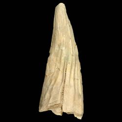 Pinna caloosaensis