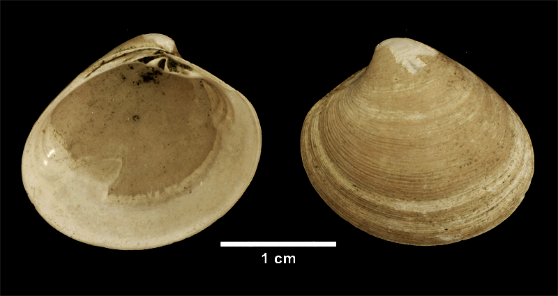 <i>Pitar morrhuanus</i> from the Late Pliocene Yorktown Fm. of Isle of Wight County, Virginia (SDSM 112638).