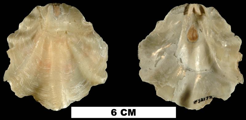 <i>Placunanomia plicata</i> from the Plio-Pleistocene (formation unknown) of Sarasota County, Florida (UF 52172).