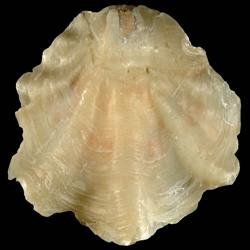 Placunanomia plicata