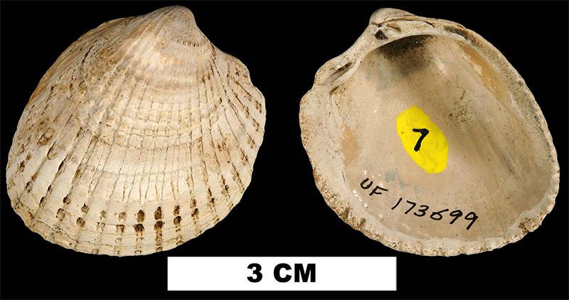<i>Planicardium virginianum</i> from the Late Pliocene Jackson Bluff Fm. of Liberty County, Florida (UF 173699).