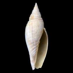 Pleioptygma lineolata