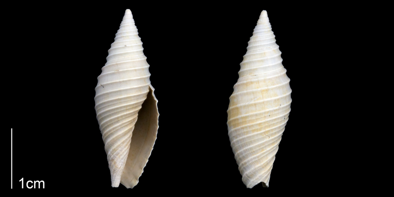 Likely a juvenile <i>Pleioptygma lineolata</i>; specimen is from the Late Pliocene Tamiami Fm. (Pinecrest Beds) of Sarasota County, Florida (PRI 70302).