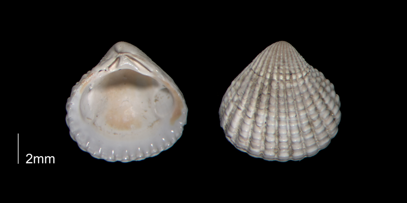 <i>Pleuromeris decemcostata</i> from the Early Pleistocene Waccamaw Fm. of Brunswick County, North Carolina (PRI 70402-2).
