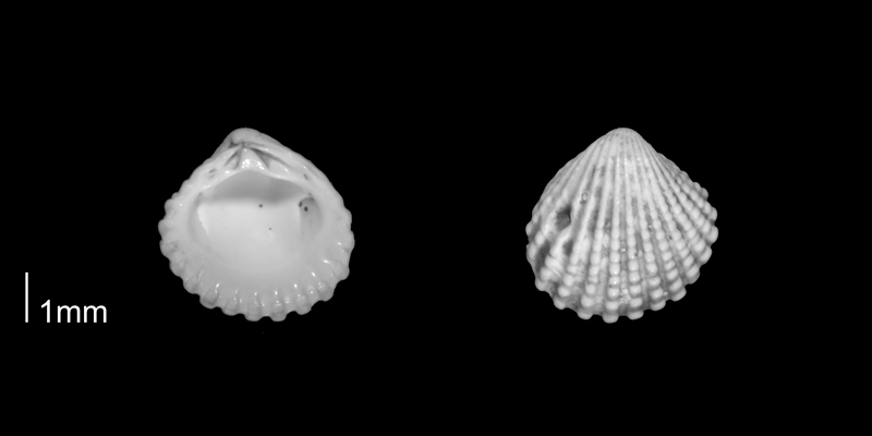 <i>Pleuromeris decemcostata</i> from the Early Pleistocene Waccamaw Fm. of Brunswick County, North Carolina (PRI 70406-1).