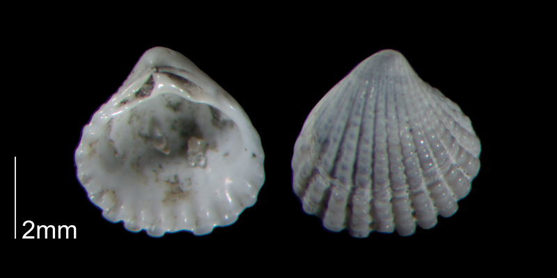 <i>Pleuromeris decemcostata</i> from the Early Pleistocene Waccamaw Fm. of Brunswick County, North Carolina (PRI 70445-1).