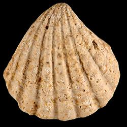 Pleuromeris scituloides