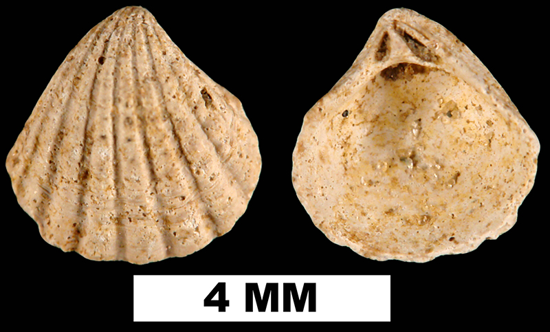 <i>Pleuromeris scituloides</i> from the Late Pliocene Jackson Bluff Fm. of Liberty County, Florida (UF 222756).